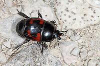 Vierfleck-Gaukler, Viergefleckter Stutzkäfer, Vierfleckiger Stutzkäfer, Hister quadrimaculatus, Lunar spotted mimic beetle, Lunar-spotted Mimic Beetle, Stutzkäfer, Histeridae, Hister Beetles