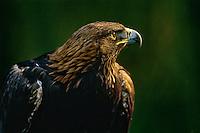 Golden Eagle (Aquila chrysaetos), Western U.S.