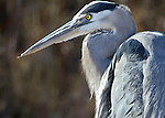 Great Blue Heron (Ardea herodias), close up, Bosque del Apache National Wildlife Refuge, New Mexico