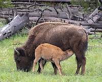 Buffalo and nursing calf at Yellowstone National Park, Wyoming
