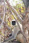 Hanuman Langurs, Jaigargh, Rajasthan