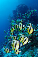 Heniochus intermedius, Rotmeer Wimpelfisch, Schwarm, School of Red Sea Bannerfish, Marsa Alam, Rotes Meer, Ägypten, Red Sea Egypt
