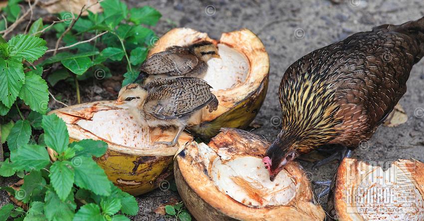A hen and her chicks take advantage of split coconuts left near a parking area at Ke'e Beach, Kaua'i.