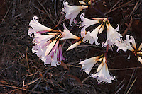 Amarylis Belladonna flowering in autumn on Kangaroo Island, South Australia.