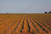 Nova Ponte_MG, Brasil...Plantacao de cana-de-acucar em Nova Ponte...The sugar cane agriculture in Nova Ponte...Foto: LEO DRUMOND / NITRO