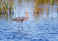 Reddish Egret in breeding plumage, standing in water