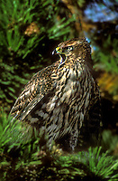 537410018 a captive juvenile northern goshawk accipiter gentillis calls from its perch in a fir tree in central colorado