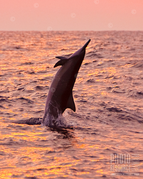 Hawaiian spinner dolphin (Stenella longirostris longirostris) jumping at sunset off the Kona Coast, Big Island.