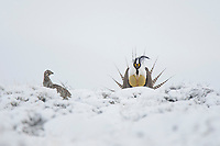 A male Gunnison Sage Grouse (Centrocercus minimus) displaying near a female in snowy sage. Gunnsion County, Colorado. April.