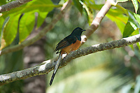 White-rumped shama male, Kamokila Hawaiian Village, Wailua River Valley, Kauai.