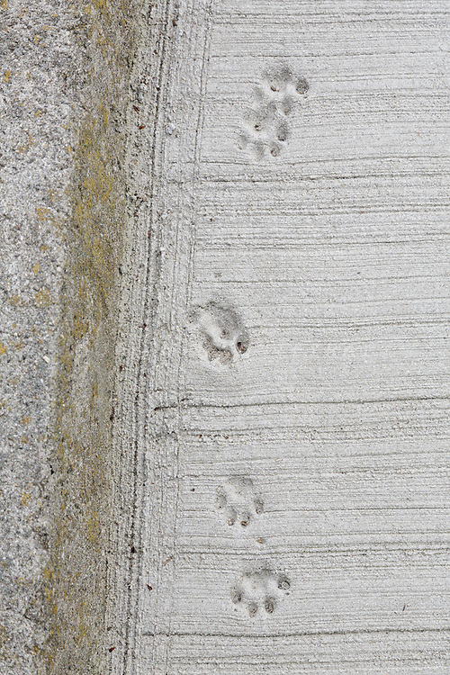 Aoshima, Ehime prefecture, September 4 2015 - Cats footprints on the concrete of the pier.<br /> Aoshima (Ao island) is one of the several &laquo; cat islands &raquo; in Japan. Due to the decreasing of its poluation, the island now host about 6 times more cats than residents.