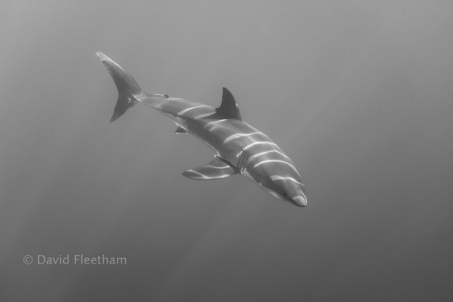 Black and white image of light rays playing off the top of a great white shark, Carcharodon carcharias, photographed just below the surface off Guadalupe Island, Mexico.