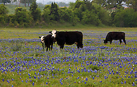 Dairy Cows graze in a Texas Hill Country pasture, Texas Hill Country; Texas; USA