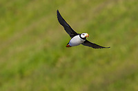 Horned puffin (Fratercula corniculata) in flight at Ninagiak Island, Alaska