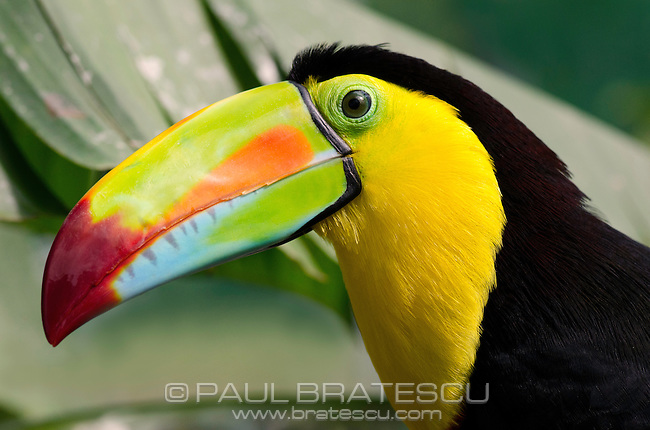 Rainbow-billed Toucan, Keel-billed Toucan (Ramphastos sulfuratus), female