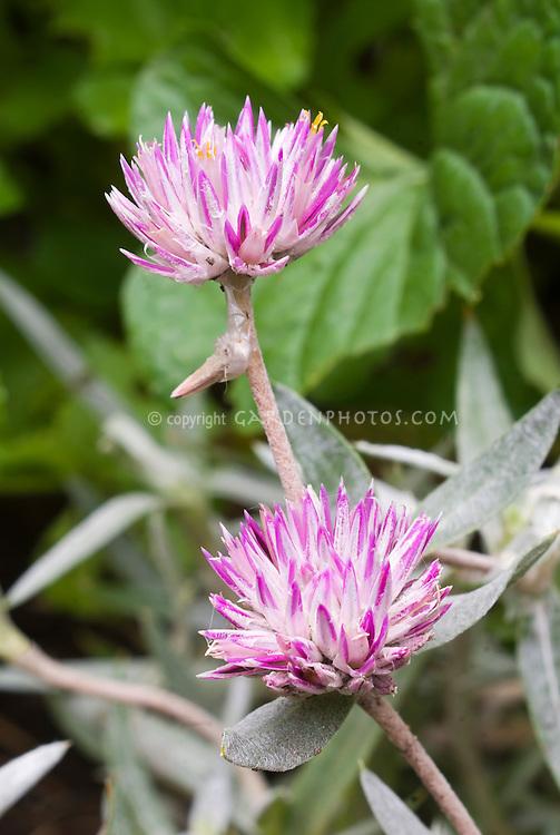 Gomphrena 'Balboa' Globe Amaranth, lavender pink, Gomphrena leontopiodes 'Balboa', with silver leaves foliage