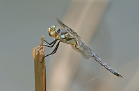 389220008 a wild male comanche skimmer libellula comanche dragonfly perches on a stick along devils river val verde county texas united states