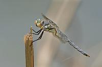 389220008 a wild male comanche skimmer libellula comanche dragonfly perches on a stick along devils river val verde county texas united states