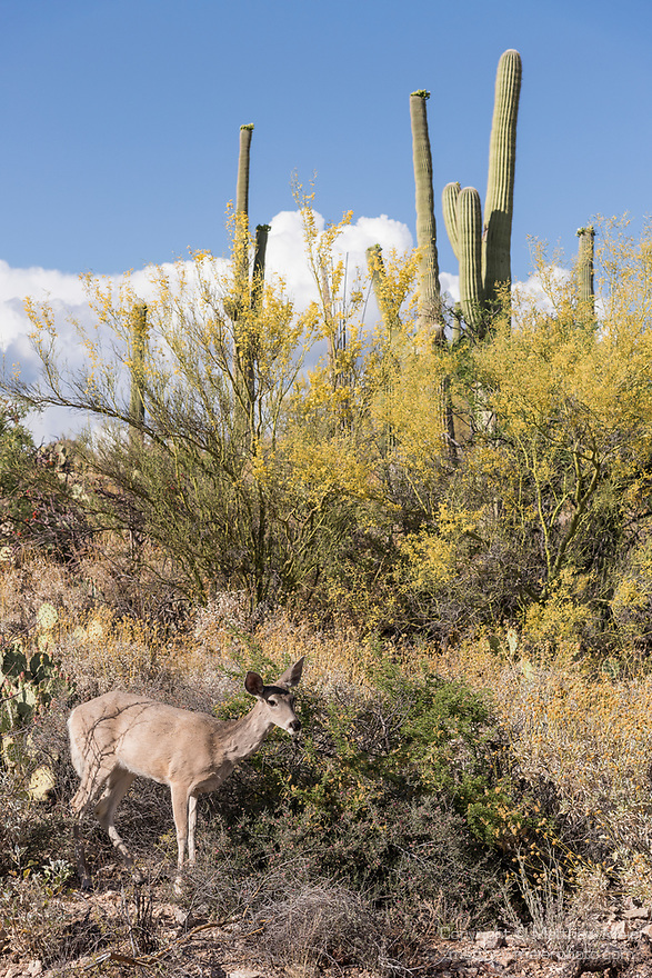 Sabino Canyon Recreation Area, Tucson, Arizona; a young white-tailed deer feeding on yellow palo verde flowers in the afternoon sunlight
