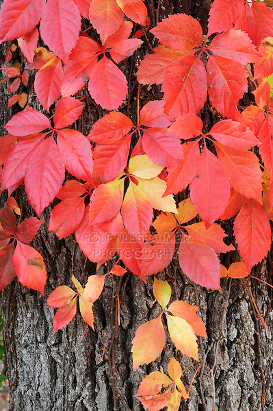 Virginia creeper (Parthenocissus quinquefolia), climbing on Live Oak (Quercus virginiana) with fall colors, Kerrville, Hill Country, Central Texas, USA
