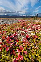 Red Bearberry and the summit of Denali, Denali National Park, Alaska.