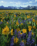 Sneffels Range with Lupine and Sunflowers, Telluride, Colorado,USA. John guides custom photo tours in the Sneffels Range and throughout Colorado.