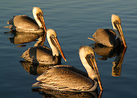 Group of adult brown pelicans in non-breeding plumage waiting at a fish cleaning station