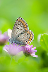 Brown Argus Butterfly, Arcia agestis, feeding on purple flower Lesvos Island, Greece , lesbos