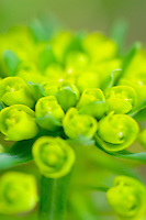 Euphorbia,commonly called spurge. Euphorbia.epithymoides , E. robbia