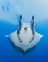 WQ1693-Dv. Sicklefin Devil Ray (Mobula tarapacana), also called Chilean devil ray. Scuba divers come from all over the world to see these majestic creatures at Princess Alice Bank, a seamount 50 miles offshore Pico Island. Scientists are studying dozens of rays regularly seen here, thought to be one of few locations in the world where this species aggregates in large numbers. Azores, Portugal, Atlantic Ocean. Cropped to vertical from native horizontal format.<br /> Photo Copyright © Brandon Cole. All rights reserved worldwide.  www.brandoncole.com