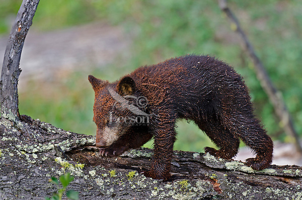 """Wild Black Bear (Ursus americanus) cub.  Western U.S., spring. (This is what is known as a """"coy""""--cub of the year.)  Covered with rotting wood (like sawdust) from a stump it has been playing on/around."""