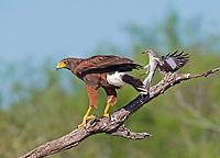 Northern Mocking Bird, Mimus polyglottos, fircely fending off Harris's Hawk, Parabuteo unicinctus, from its nearby nest, Texas, USA