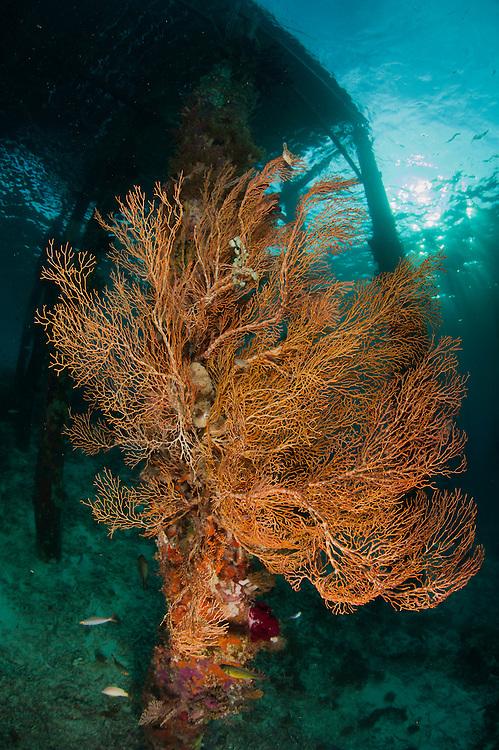 Gorgonian sea fan attached to a leg under Arborek Jetty, Dampier Strait, Raja Ampat, Indonesia