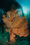 Gorgonian sea fan attached to a leg under Arborek Jetty, Dampier Strait, Raja Ampat, Indonesia