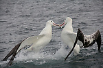 Albatross in New Zealand