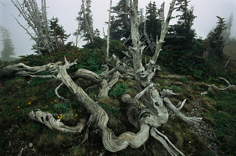A harsh landscape is revealed between Obstruction Point and Hurricane Ridge as frequent assaults by cold, snow and wind can turn a tree into a bleached and tortured sculpture. Much of the sub-alpine of Olympic National Park is accessible in summer after 30 feet of snow melt, and visible when not shrouded in heavy fog. Olympic is one of the wildest places remaining in the contiguous United States.