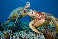 green sea turtle, Chelonia mydas, competing for a better spot at cleaning station, endangered species, Maui, Hawaii, USA, Pacific Ocean