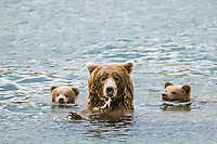 Brown bear sow and spring cubs feed on red salmon in the Brooks River, Katmai National Park, southwest, Alaska.