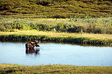 USA, Alaska, moose in lake, Denali National Park