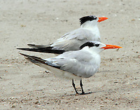 Pair of royal terns in non-breeding plumage in July