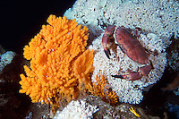 Deep hard corals reef, Lophelia pertusa, with an orange coral seafan, Paramuricea placomus, next to the reef. On top of the hard coral a massive edible crab, Cancer pagurs, is sitting. Trondheim fjord, Norway