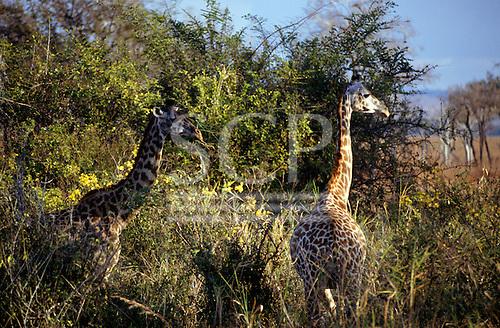 Mikumi Game Reserve, Tanzania. Group of giraffe in savannah scrub.