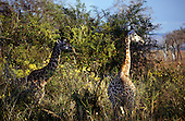 Mikumi Game Reserve, Tanzania. Group of giraffe in savannah scrub.