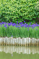 Blue Flag Iris line the shore along one of the lakes at the Chicago Botanic Garden in Cook County, Illinois