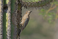 597910014 a wild female gila woodpecker melanerpes uropygialis perches at a cavity nest in a giant saguaro cactus carnegiea gigantea at catalina state park in tucson arizona united states