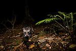 Malayan Civet (Viverra tangalunga) in lowland rainforest at night, Tawau Hills Park, Sabah, Borneo, Malaysia