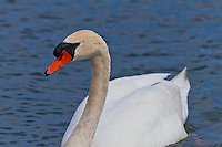 A swan swims towards the camera cautiously