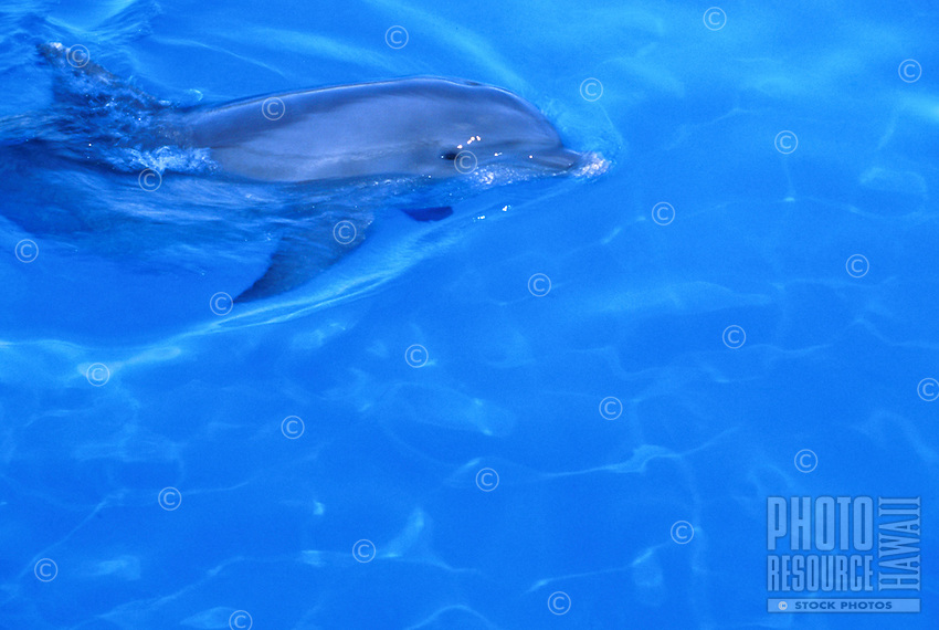 Atlantic bottlenose dolphin swimming in blue water