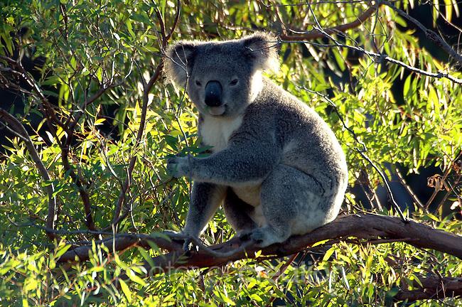 Australian Koala.