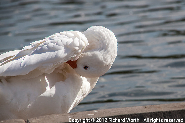 A domestic goose curls its neck and pokes its bill under a wing at the San Lorenzo Park's Duck Pond.